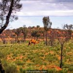 The strange story of Australia's wild camel